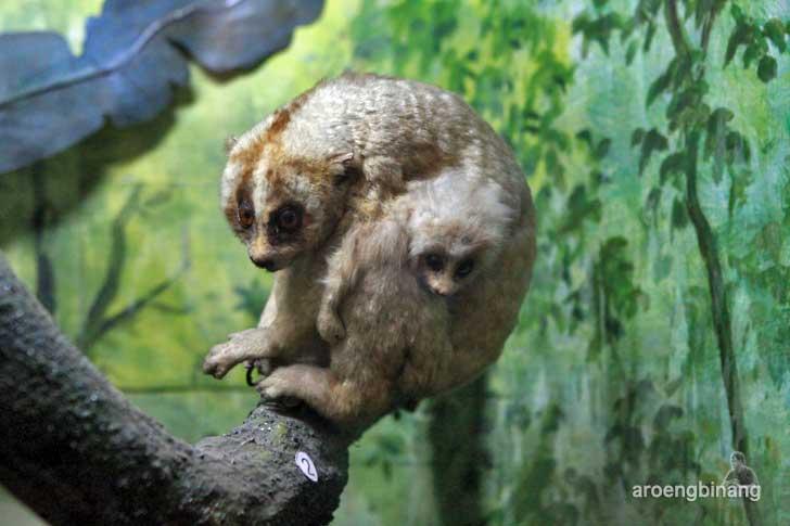 kukang museum zoologi bogor
