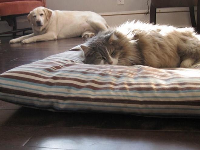 Momentos hilários em que os cachorros foram dominados pelos gatos (ou não)