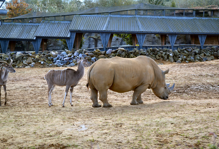 Rhinos at Colchester zoo @ ups and downs, smiles and frowns