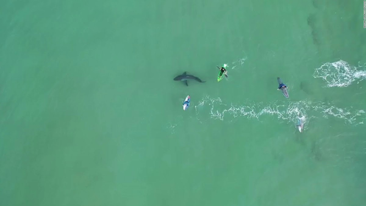 Due to a high number of reported White Shark sightings and close encounters, NSRI are appealing to the public to exercise caution along the Southern Cape coastline, in particular around the coastline of Plettenberg Bay and between Mossel Bay and Jeffreys Bay. http://ow.ly/NRi150AfOyk