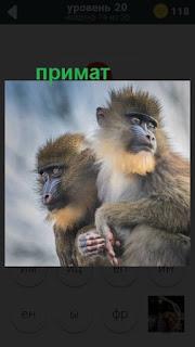сидят два примата на 20 уровне в игре 470 слов
