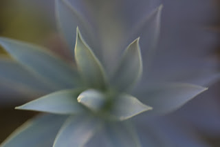 Soft detailed close up shot of an blue green agave plant from Texas