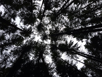 Looking up at tall douglas firs against a bleak grey sky