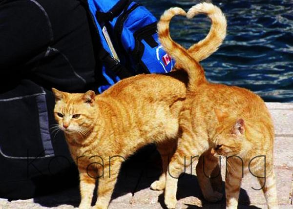 Cara Mengawinkan Kucing Yang Tepat