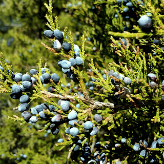 Juniperus virginiana L. photo