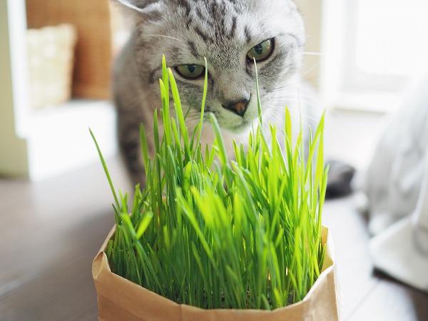 猫草を見つめるサバトラ猫