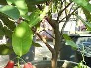 Cara Mencangkok Pohon Jambu Lengkap dengan Gambar