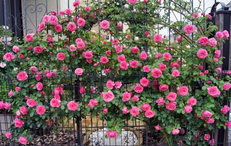 Dez entre dez preferem as rosas !  A rosa é uma das flores mais populares no mundo. Vem sendo cultivada pelo homem desde a Antiguidade, a primeira há 5.000 anos. Na sua forma selvagem, a flor é ainda mais antiga.  Celebrada ao longo dos séculos, a rosa, símbolo dos apaixonados, também marcou presença em eventos históricos importantes e decisivos. Fósseis dessas rosas datam de há 35 milhões de anos.