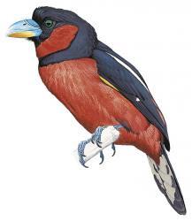 Cymbirhynchus affinis