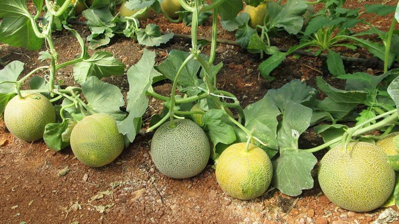 Το ωίδιο απειλεί τις καλλιέργειες πεπονιού