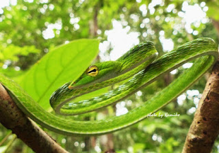 Big-eye Green Whip Snake