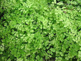 maidenhair fern - http://photography-passions.blogspot.com