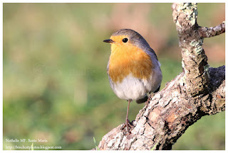 https://bioclicetphotos.blogspot.fr/search/label/Rougegorge%20familier%20-%20Erithacus%20rubecula