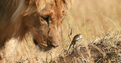 Lion and frog