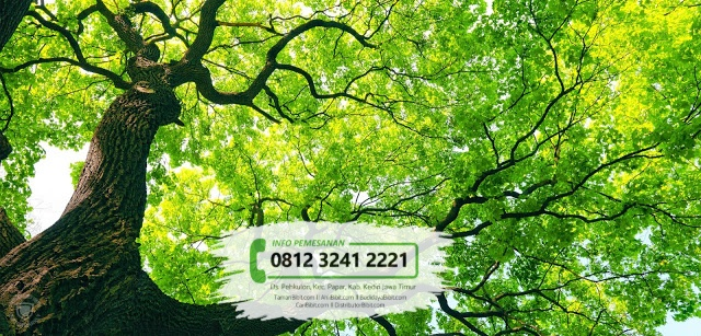 Jual Bibit Pohon Ketapang Daun Lebar