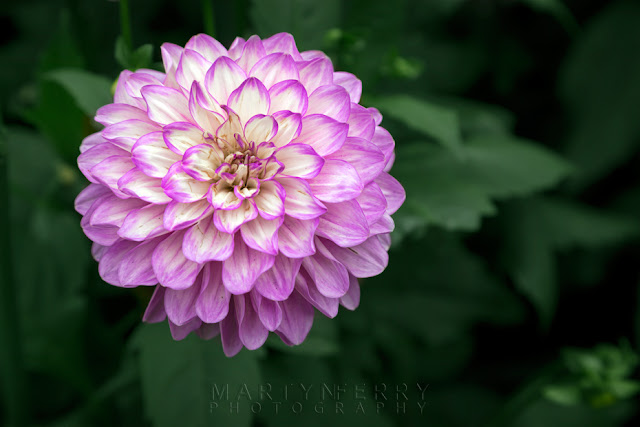 Anglesey Abbey dahlia collection in bloom by Martyn Ferry Photography