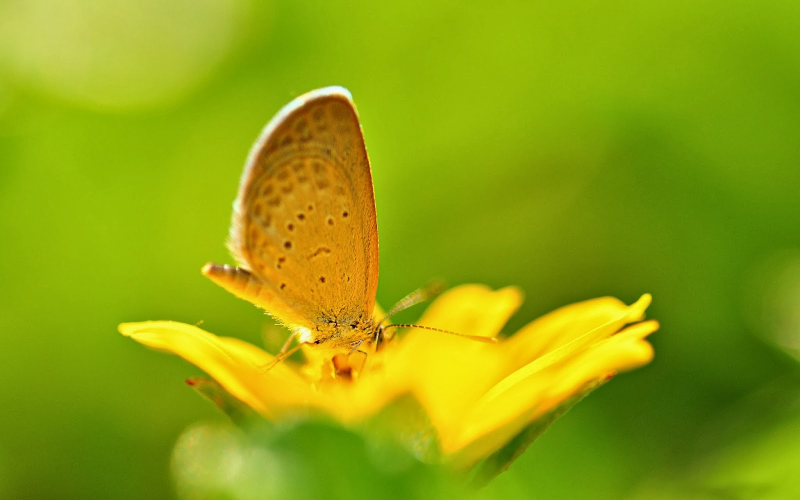 yellow butterfly wallpaper free - photo #2