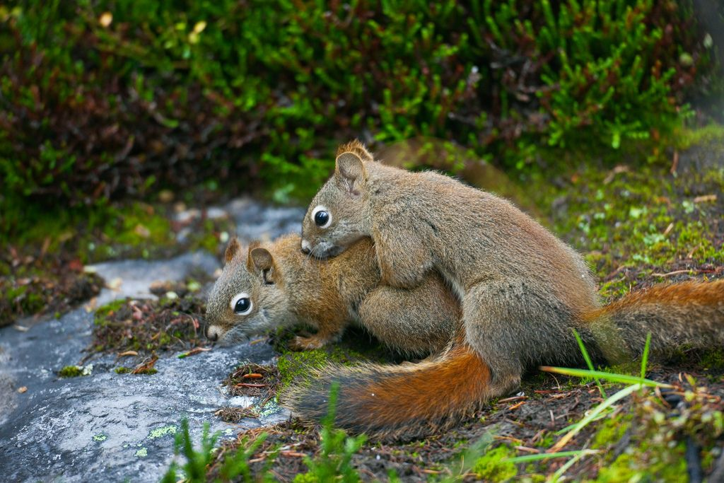 22. American Red Squirrels Having Love in Yoho National Park