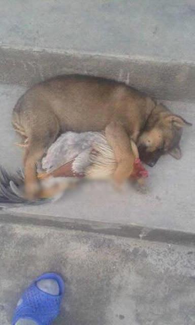 Chó ôm gà ngủ ngon lành giữa trưa