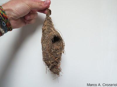Pesquisa, aves, ninhos, Crozariol, museu nacional do Rio de Janeiro, filogenia, estudos com ninhos, ninhos de aves, natureza, pássaros