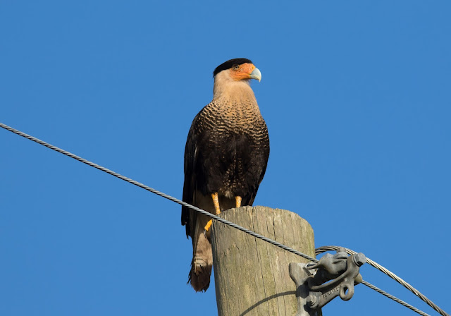 Crested Caracara - Florida