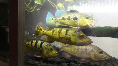 Peacock Bass Ikan Predator Tipe Tengah