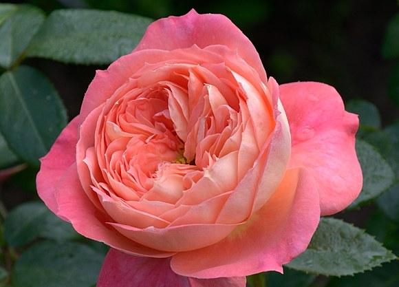 Queen of Hearts сорт розы купить саженцы в Минске фото питомник