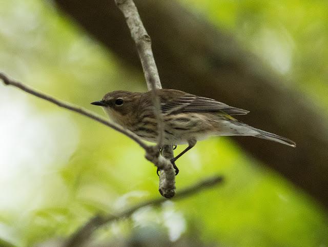 Yellow-rumped Warbler - Orlando, Florida