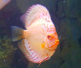 Gambar ikan discus albino