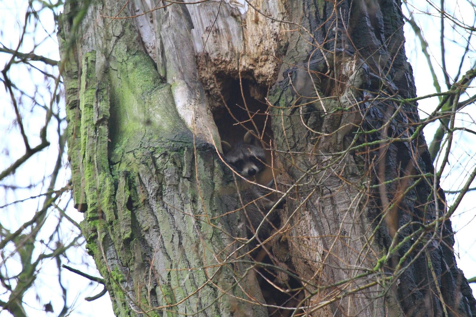 waldl ufer waschb ren im baum kranker waschb r raccoon in the tree sick raccoon. Black Bedroom Furniture Sets. Home Design Ideas