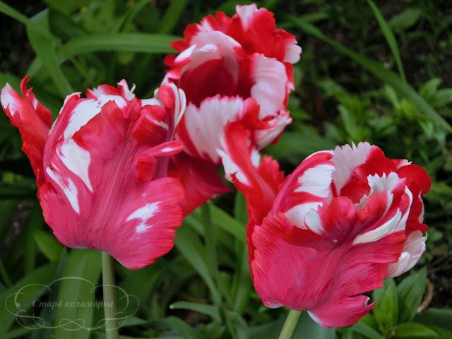 тюльпан Estella Rijnveld, тюльпаны, сад, цветник, тюльпаны в саду, сорта тюльпанов, фото тюльпанов