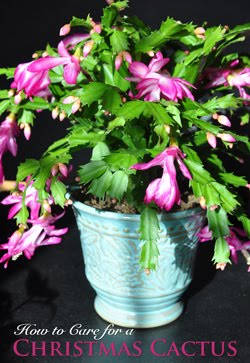 Caring For A Holiday Cactus