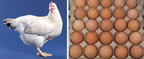 Witte delaware kippen leggen bruine eieren