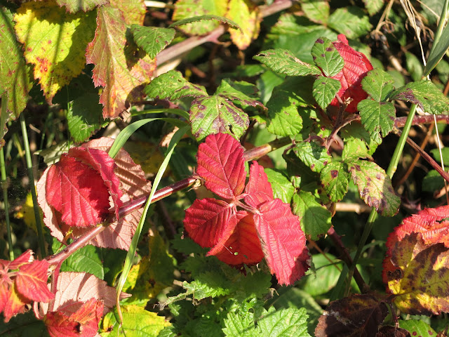 A blackberry branch with lots of bright red leaves. The ones behind are yellow and green.