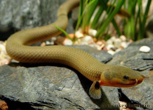 Ropefish, Snake Fish (ikan ular) atau The Reedfish