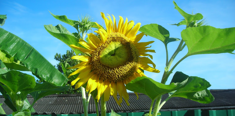 Cara Dan Teknik Menanam Bunga Matahari Yang Baik Dan Benar