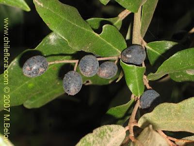 arboles de la patagonia