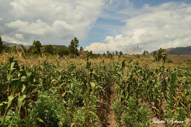 Champ de maïs au Pérou
