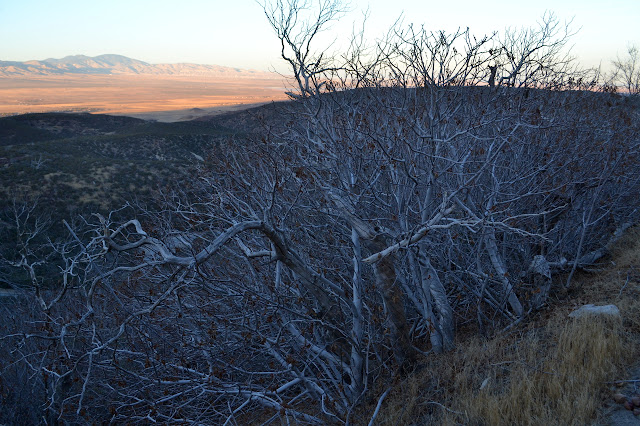 bare branches crowding around dead trunks