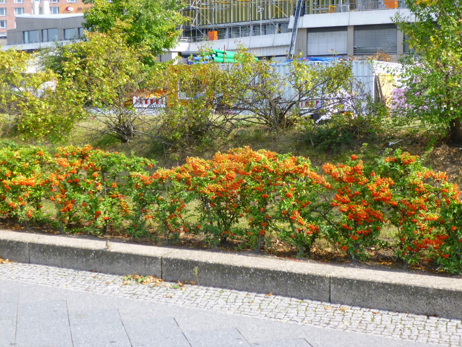 Pyracantha coccinea hedge in Berlin
