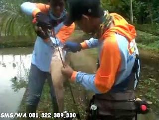 Master Umpan Ikan Lele Galatama