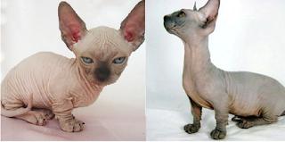 kucing bambino unik