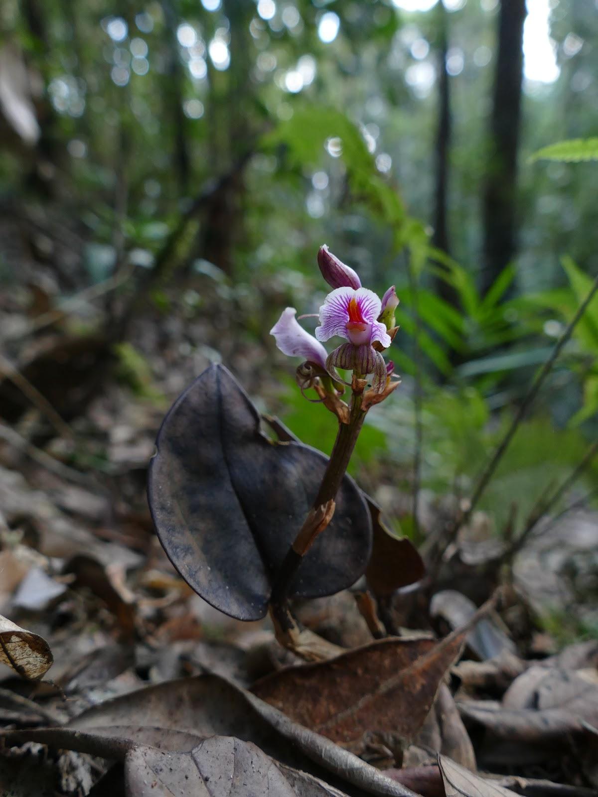 nephelaphyllum pulchrum