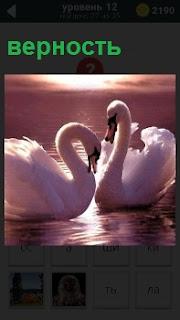 Два лебедя склонив голову друг к другу на воде клянутся в верности друг к другу