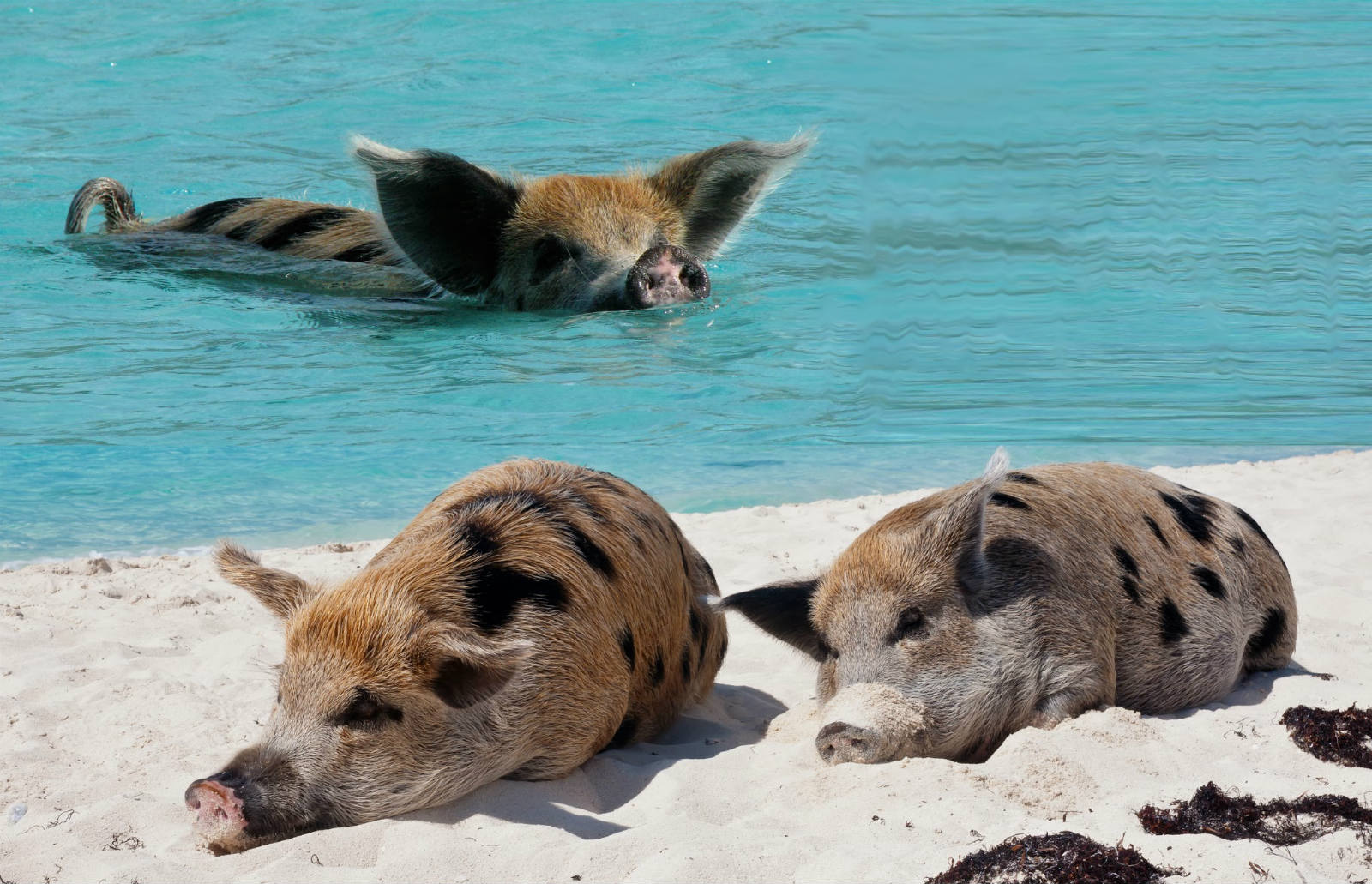Island Big Major Cay – Where Pigs Get To Paradise