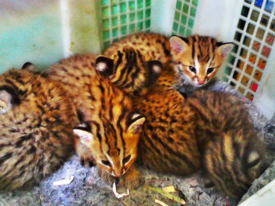 Blog Kucing Bengal