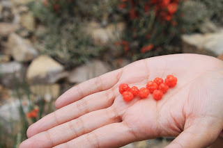 Somlata, a sweet berry found in the Himalayas