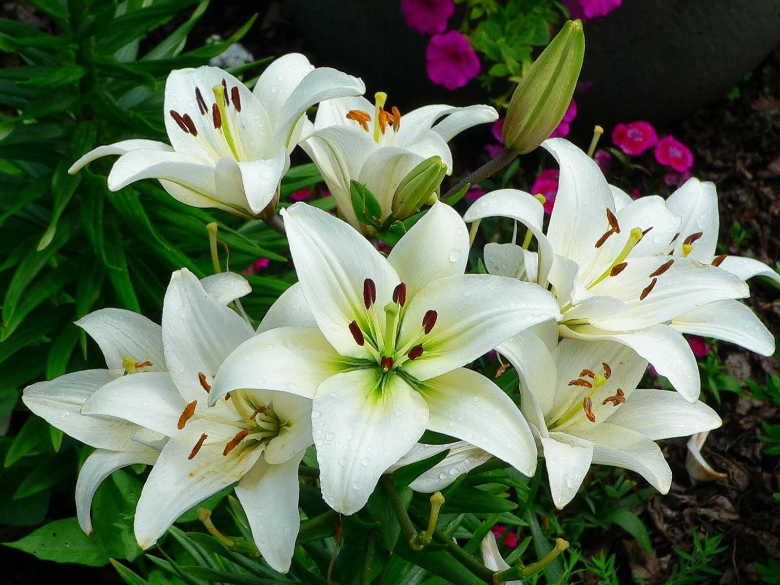 Koleksi Sketsa Gambar Bunga Amarilis