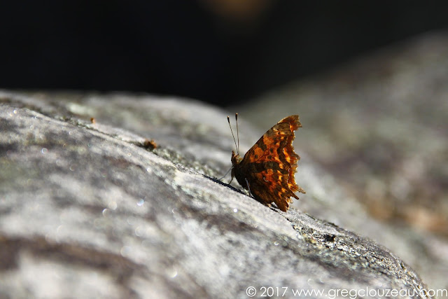 Robert-le-Diable Polygonia c-album en Forêt de Fontainebleau