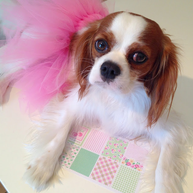 Cavalier King Charles Spaniel in pink tutu with planner stickers